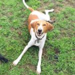 Victor, the redtick coonhound